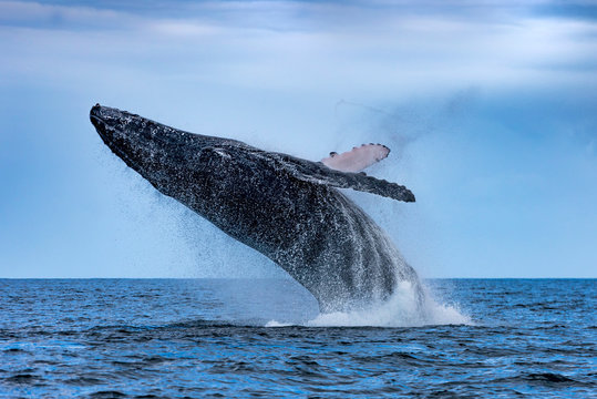 Humpback (Megaptera novaeangliae) Whale Jumping Out Of The Water. Madagascar. St. Mary`s Island.