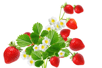 strawberry blooming plant witch red berries