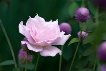 Soft focus of Pink rose