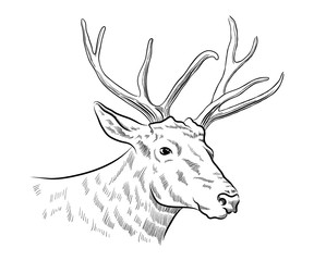 stag deer head sketch vector graphics monochrome black-and-white drawing