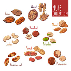 Group of vector colorful illustrations on the nutrition theme; set of different kinds of nuts. Realistic isolated objects for your design.