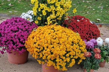 Chrysanthèmes colorés devant une tombe