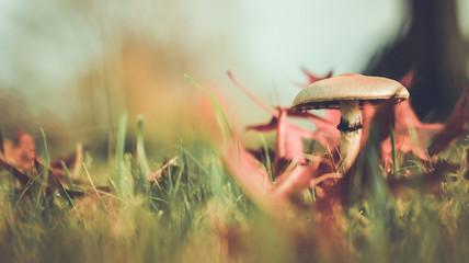 Fungo sul prato tra le foglie secche in autunno con sfondo sfocato 16/9