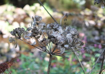 Close up of wild cow parsnip seed heads against a blurred nature background