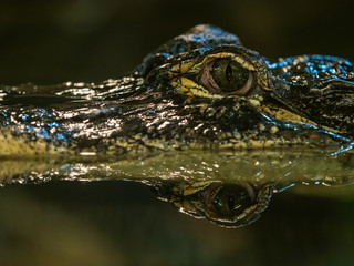 Portrait eines Alligators
