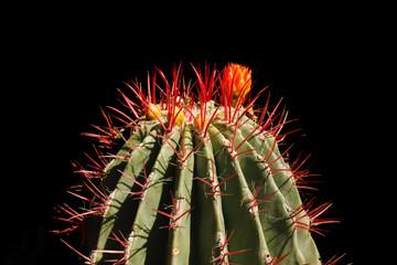 Cactus in Jardin Majorelle in Marrakesh Marocco