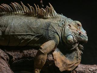 Portrait eines Iguana