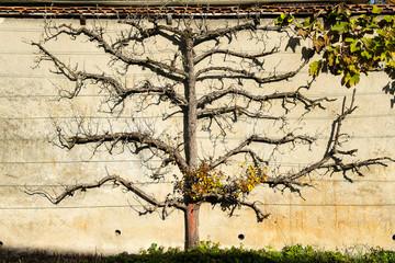 Laubloser Birnbaum an einer Mauer