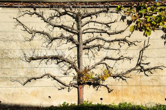Laubloser Birnbaum an der Klostermauer, Luzern, Schweiz