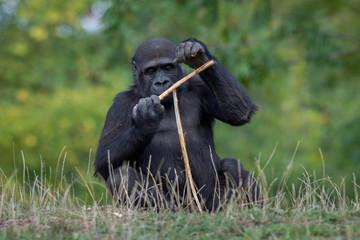 Sitting Gorilla near forest