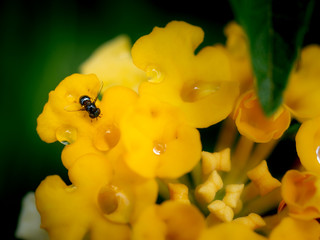 Fly and Rain Drops Perched on Yellow Hedge Flowers