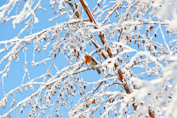 Robin redbreast perched on a snow covered tree branch