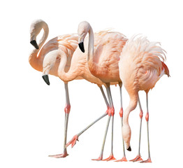 Foto auf Leinwand Flamingo isolated on white four flamingo