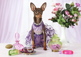 Four month old toy Terrier puppy dressed in a dress