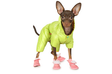 Puppy the toy terrier in a green jacket and boots