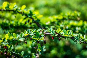 Juicy green Ilex vomitoria with red berries