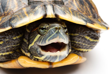 side view pet turtle red-eared slider or Trachemys scripta elegans hides its head under the shell close up