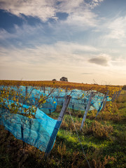 Vineyard in autumn with dramatic sky
