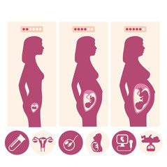 pregnancy growth vector