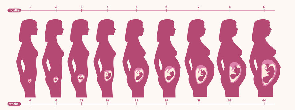 pregnancy period vector