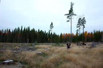 Nature of Sweden in autumn, Man hiking across the cut forest with few tall trees on the Bruksleden hiking route
