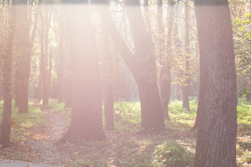 Garden Poster Forest morning soft focus park outdoor forest nature landscape in foggy weather with sun glare light between trees