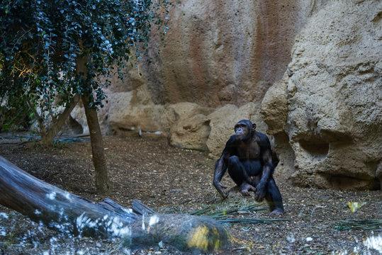 Chimpancé (Pan Pan) en hábitat controlado