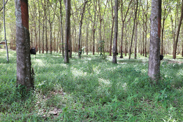 Plantation of rubber trees, Koh Samui Island, Thailand