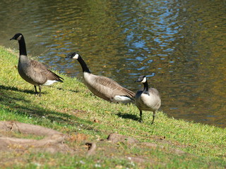 Three Canadian Geese have just paddled across the lake and are headed up the hill.