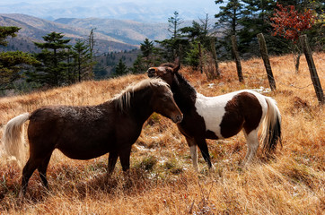 Mt Rogers wild ponies nuzzling;  Grayson Highlands S.P.;  Virginia