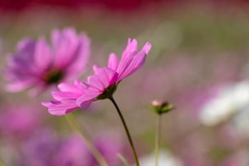 Spoed Foto op Canvas Roze Cosmos flower, Ibaraki, Japan