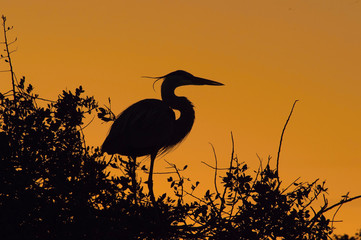 Great Blue Heron, Ardea herodias is sitting on the top of the tree in the backlight of sunset, orange background, dark silhouette of Heron