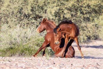 Wild Horses fighting in Arizona