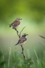 The whinchat, saxicola rubetra is sitting and posing next to his nest, somewhere in the grass, green background, male and female on the same stick, typical environment for the nesting, Czech Republic