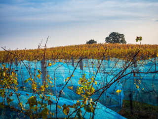 Autumn scenery with vineyard in Austria