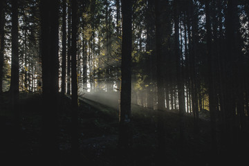 beautiful sun rays between trees in a foggy forest