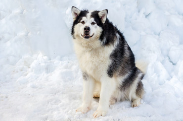 Beautiful Malamute dog before the race in full-body shot. Malamute dog has black and white fur color. Snow background.