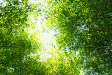 bamboo forest,Bamboo branch beautiful green nature background