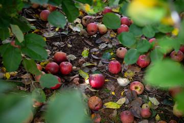 apples under tree