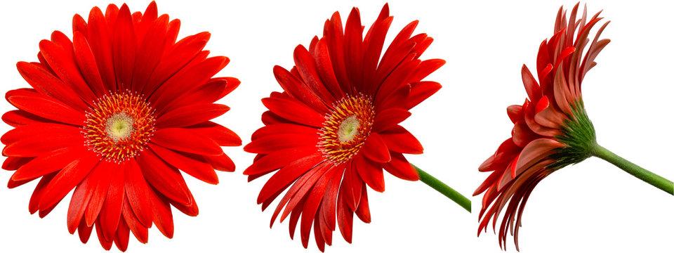 rote Gerbera Blüte Seitenansichten, freigestellt