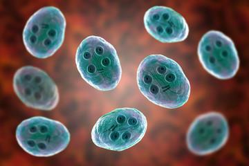 Cyst of Giardia intestinalis protozoan