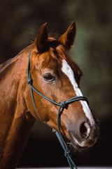 horse portrait with dark background, bokeh