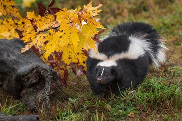 Fotomurales - Striped Skunk (Mephitis mephitis) Steps Forward by Autumn Log