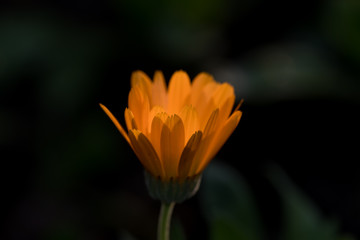 pomarańczowy nagietek na czarnym tle