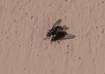 mucha chodząca po ścianie