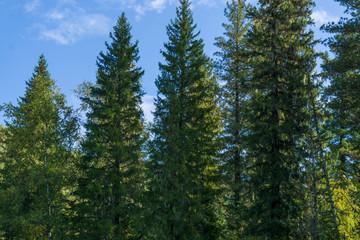 Cedar pines closeup