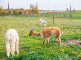 Colorful group of Alpacas on the farm. A variety of fleece types and colors are visible, animals graze in a green meadow