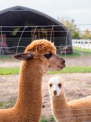 mother alpaca with new born, Cute baby alpaca looking at the camera, copy cpase