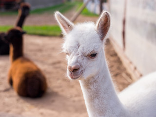 Cute white baby alpaca looking at the camera, copy cpase