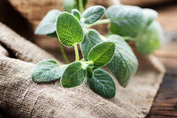 Fresh sage leaf
